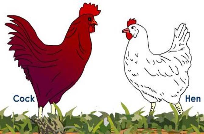 मुर्गे को भी करना पड़ा गिरफ्तार , तीन थानौं की पुलिस ने मोर्चा संभाला