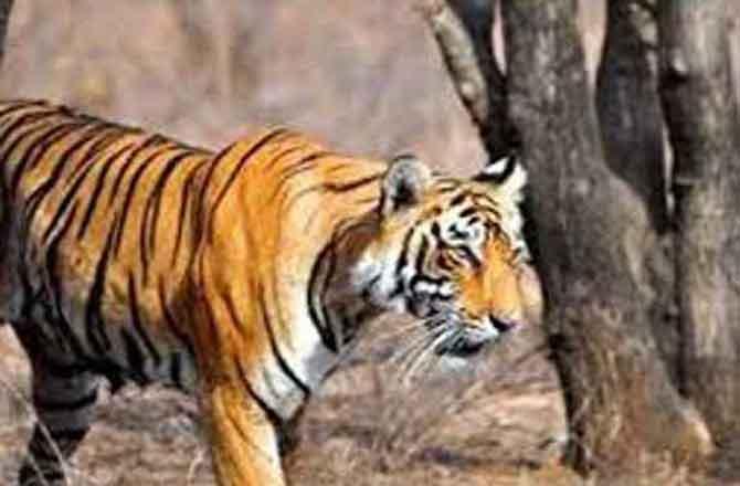 लखीमपुर में टाइगर के खूनी आतंक  से घरों में दुबके ग्रामीण