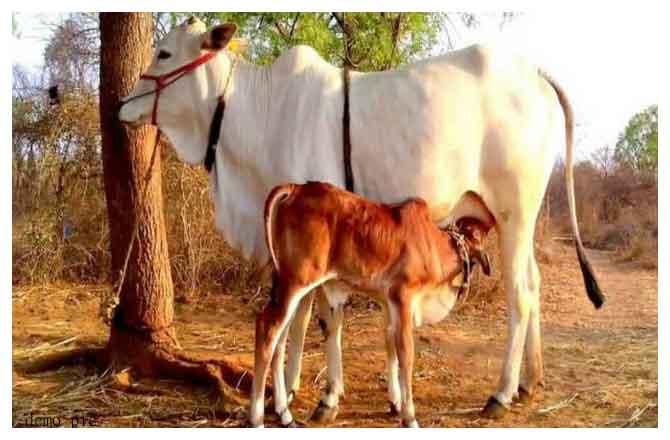 गाय सभी प्रकार की समृद्धियों का स्रोत -योगी अश्विनी